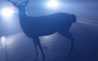 Bent u verzekerd als u een wild dier aanrijdt?